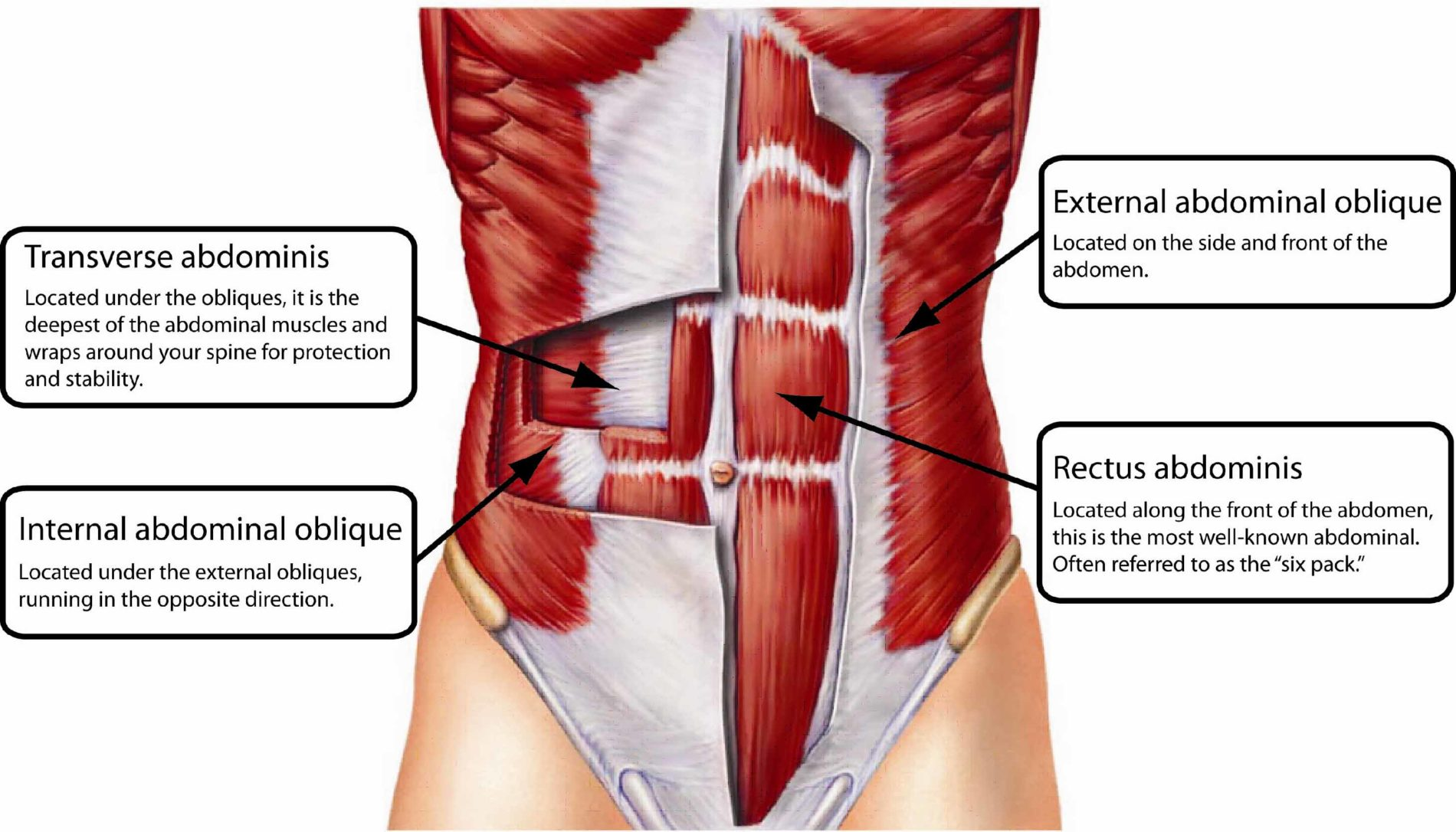 Muscles Below Belly Button Diagram - Schematic Wiring Diagram •
