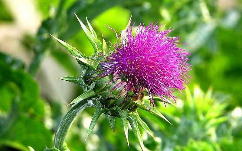 7 Liver-Healthy Foods - Milk Thistle