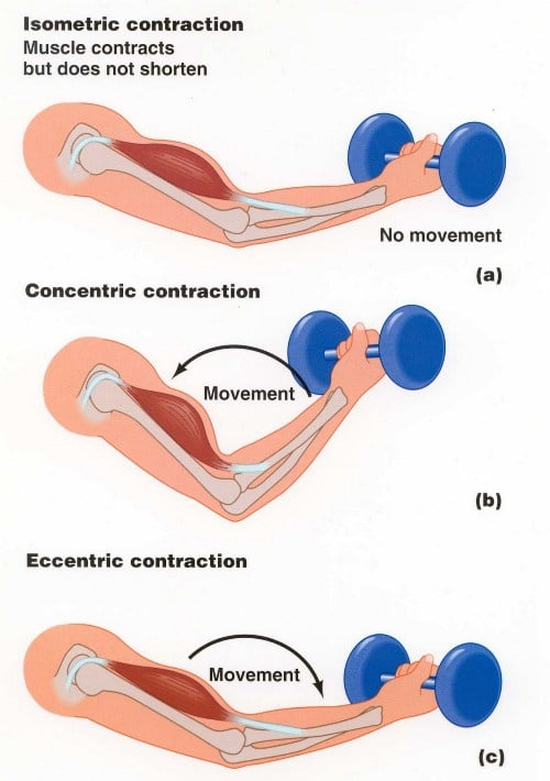 muscle-contractions