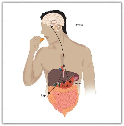 appetite-hormones