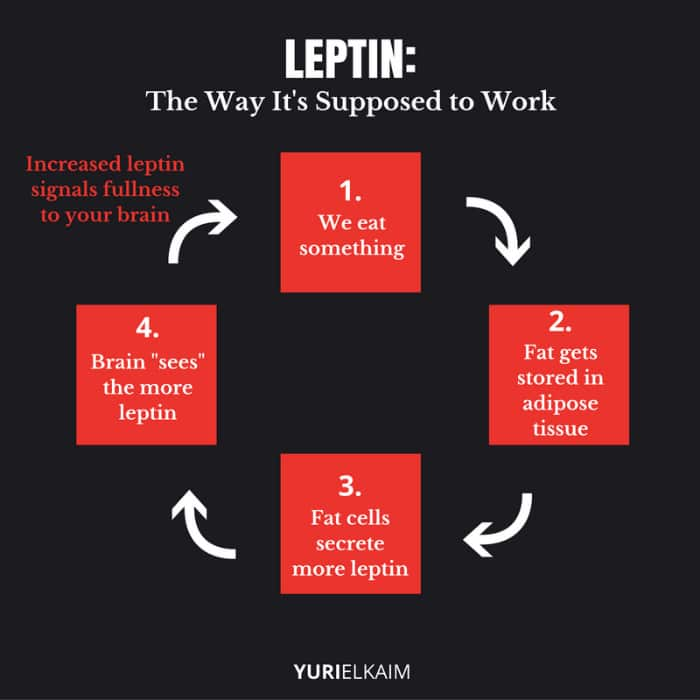 How Healthy Leptin Works Diagram