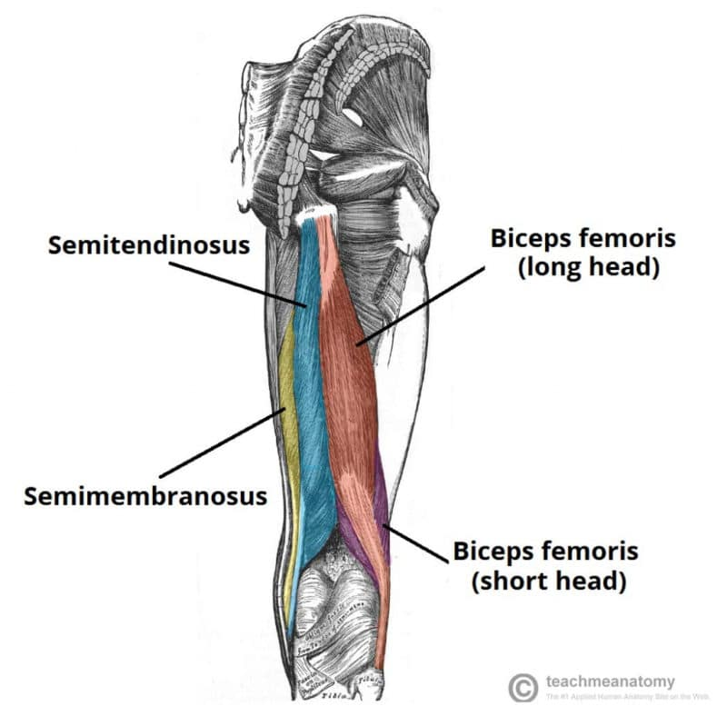 Anatomy of Hamstring Muscle